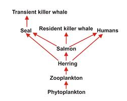Food Chain and Herring