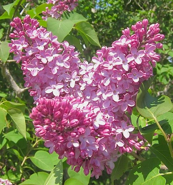 Heart Lilac IMG © Dreamtime Wellness